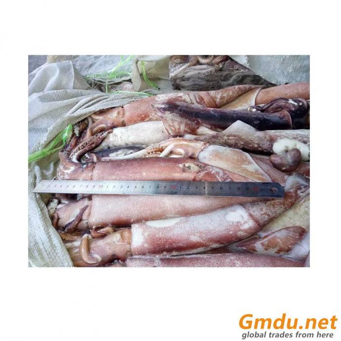 Squid, Japanese squid, flying squid, todarodes pacificus squid